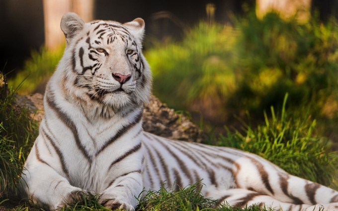 pictures of white tigers