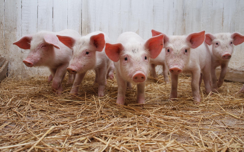 Pig Cute - HD Desktop Wallpapers