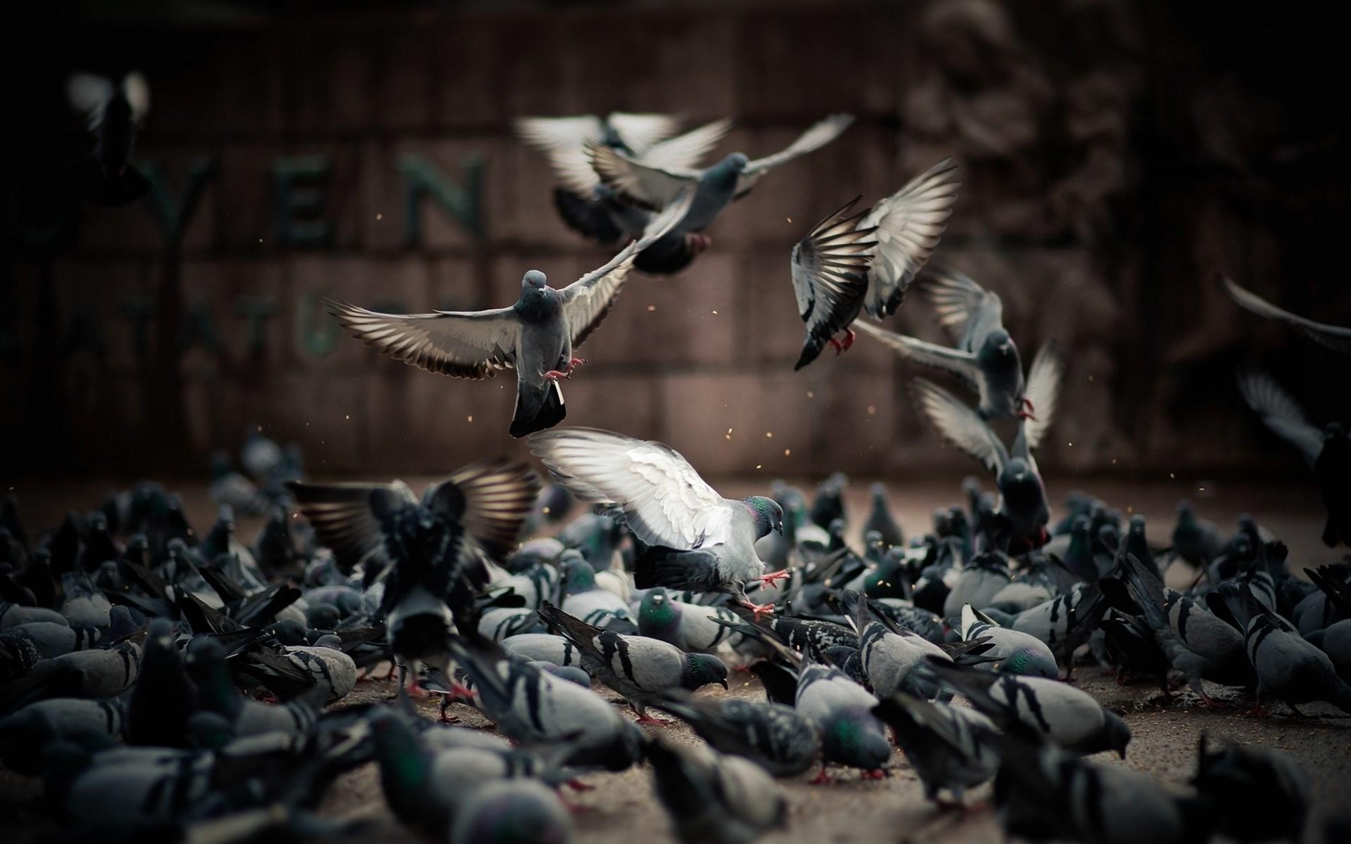 pigeons birds