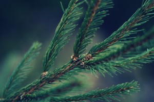 pine picture backgrounds