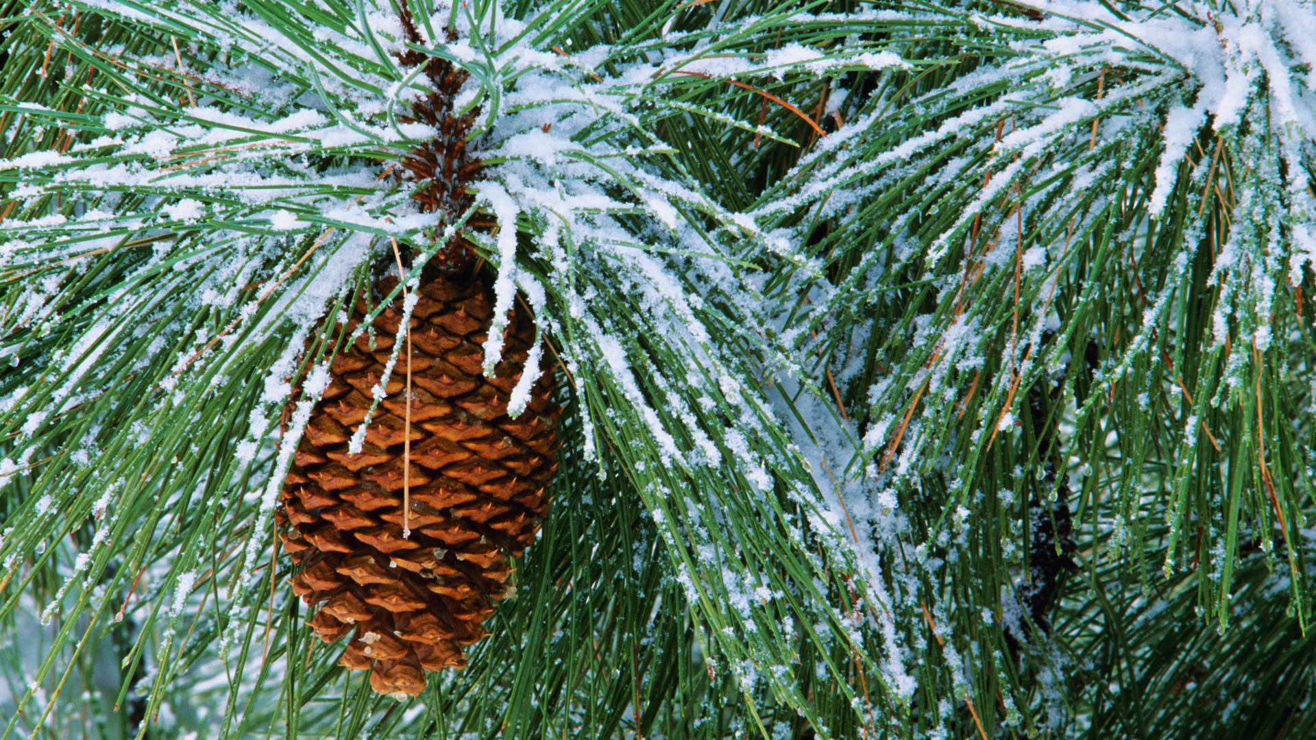 pine tree wallpaper related - photo #2