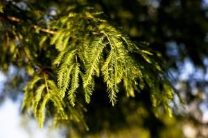 pine wallpaper