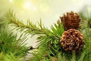 pine wallpaper desktop