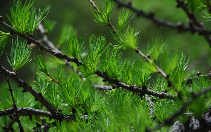 pine wallpaper download