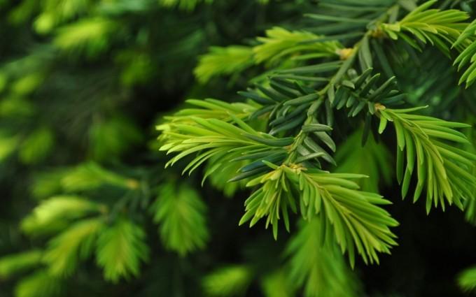 pine wallpaper forest