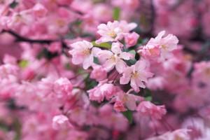 pink blossoms garden