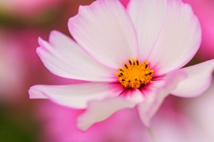 pink cosmea hd flower