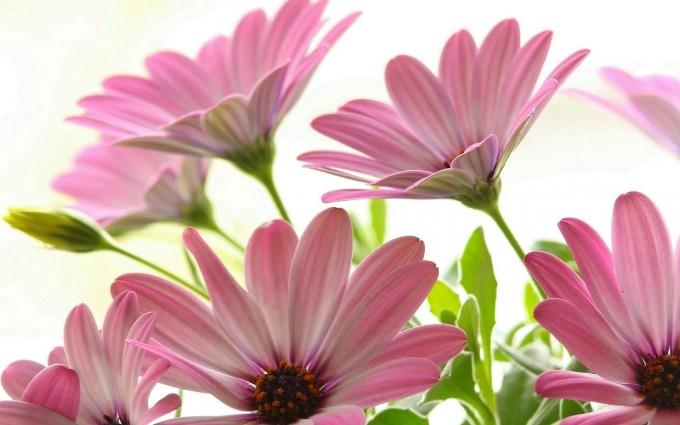 Pink Daisies Hd Desktop Wallpapers 4k Hd