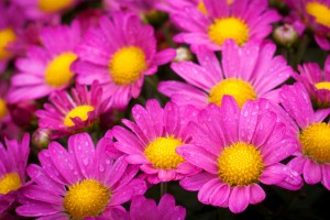 pink flower images hd