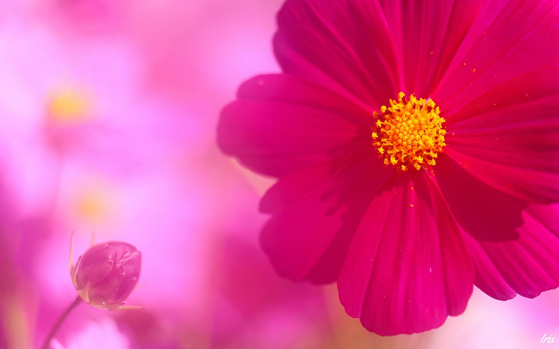 pink flower kosmeya