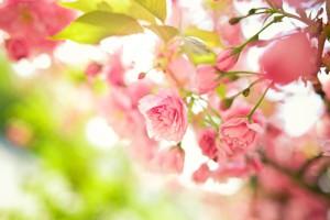 pink flowers garden
