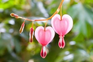 pink flowers hd