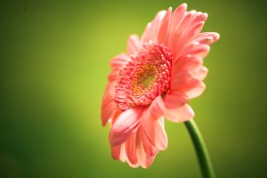 pink gerbera flower widescreen