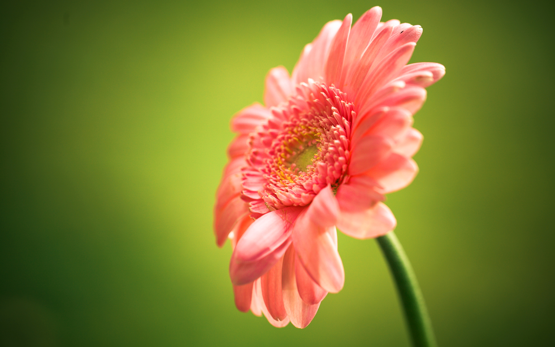 Single Flower Wallpapers: Pink Gerbera Flower Widescreen - HD Desktop Wallpapers