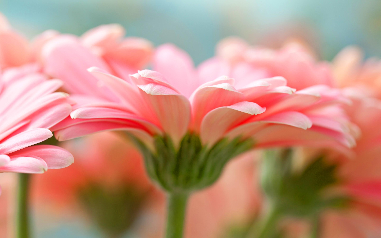 pink gerbera flowers wallpapers - photo #19