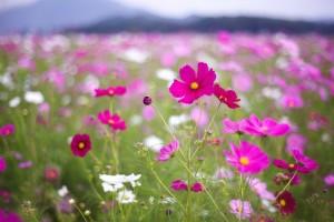 pink kosmeya flower hd