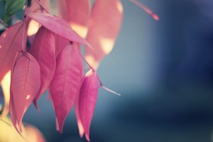 pink leaves download