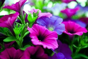 pink purple flowers hd