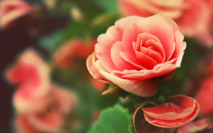pink roses hd