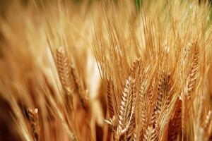 plants wallpaper wheat