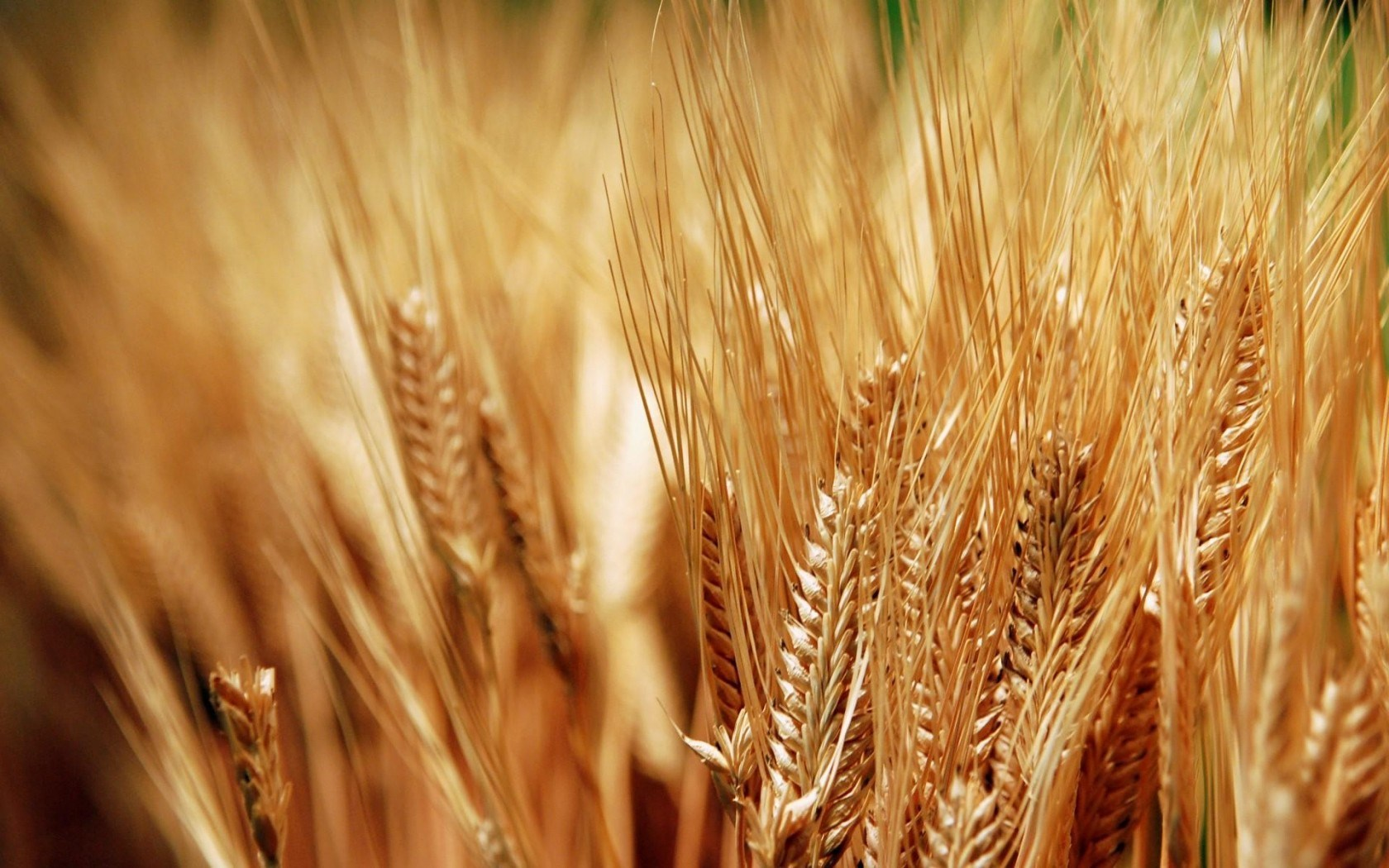 plants wallpaper wheat