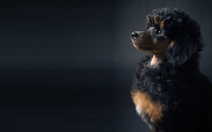 poodle wallpaper 1080p