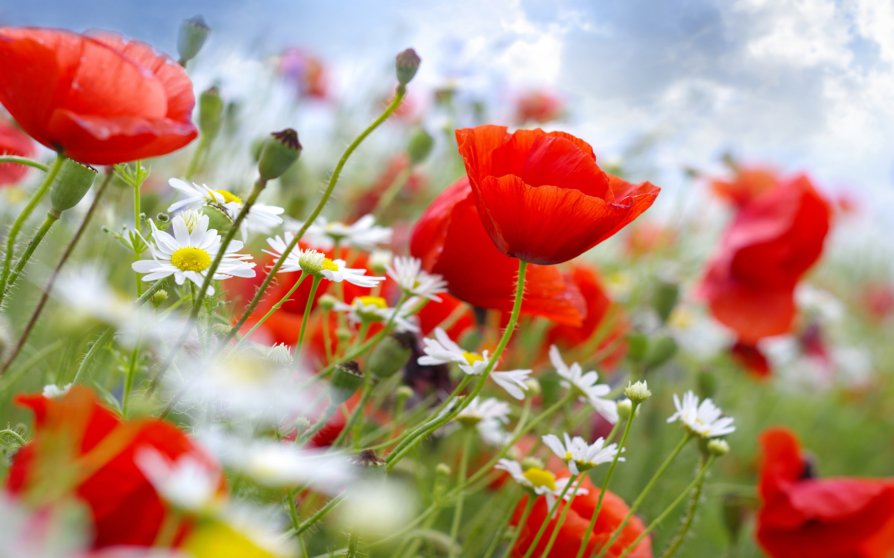 poppies daisies