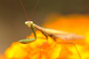 praying mantis backgrounds
