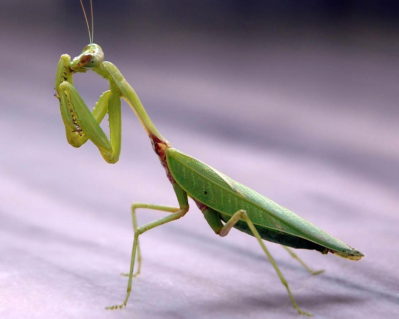 praying mantis hd