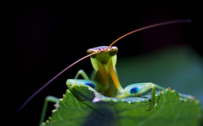 praying mantis images