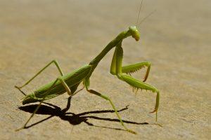 praying mantis pictures
