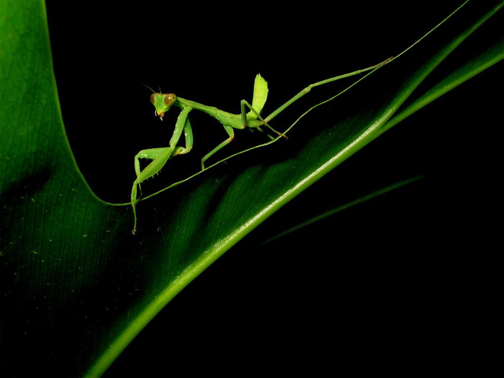 prey mantis facts
