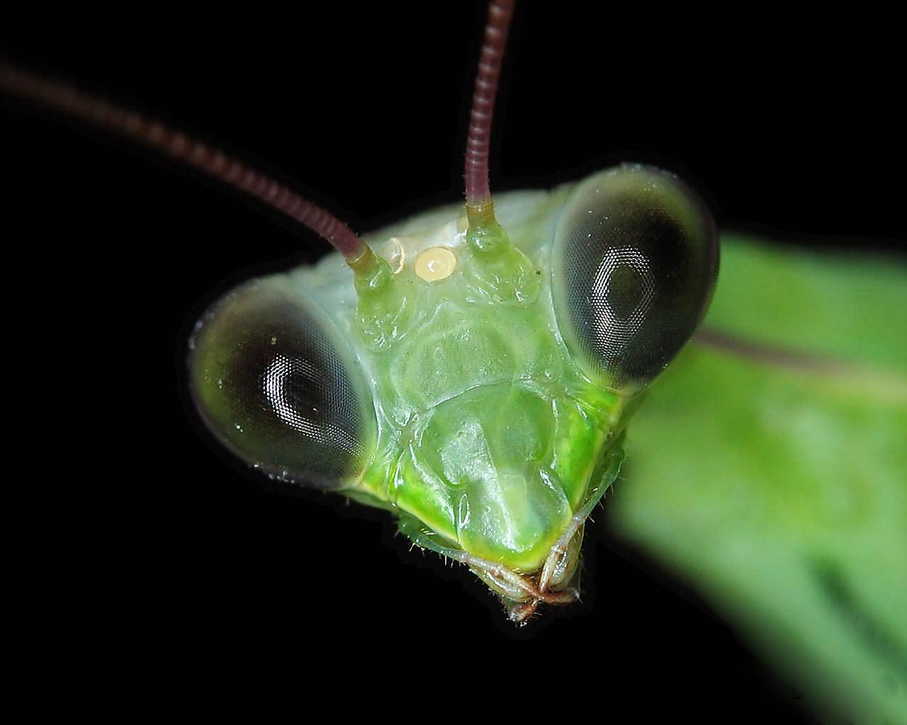 preying mantis images