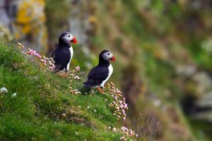 puffin pictures