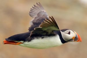 puffin seabird flying