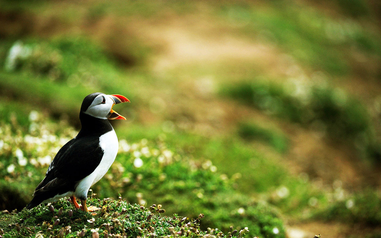 puffin wallpapers 1080p