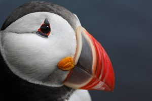 puffin wallpapers cute