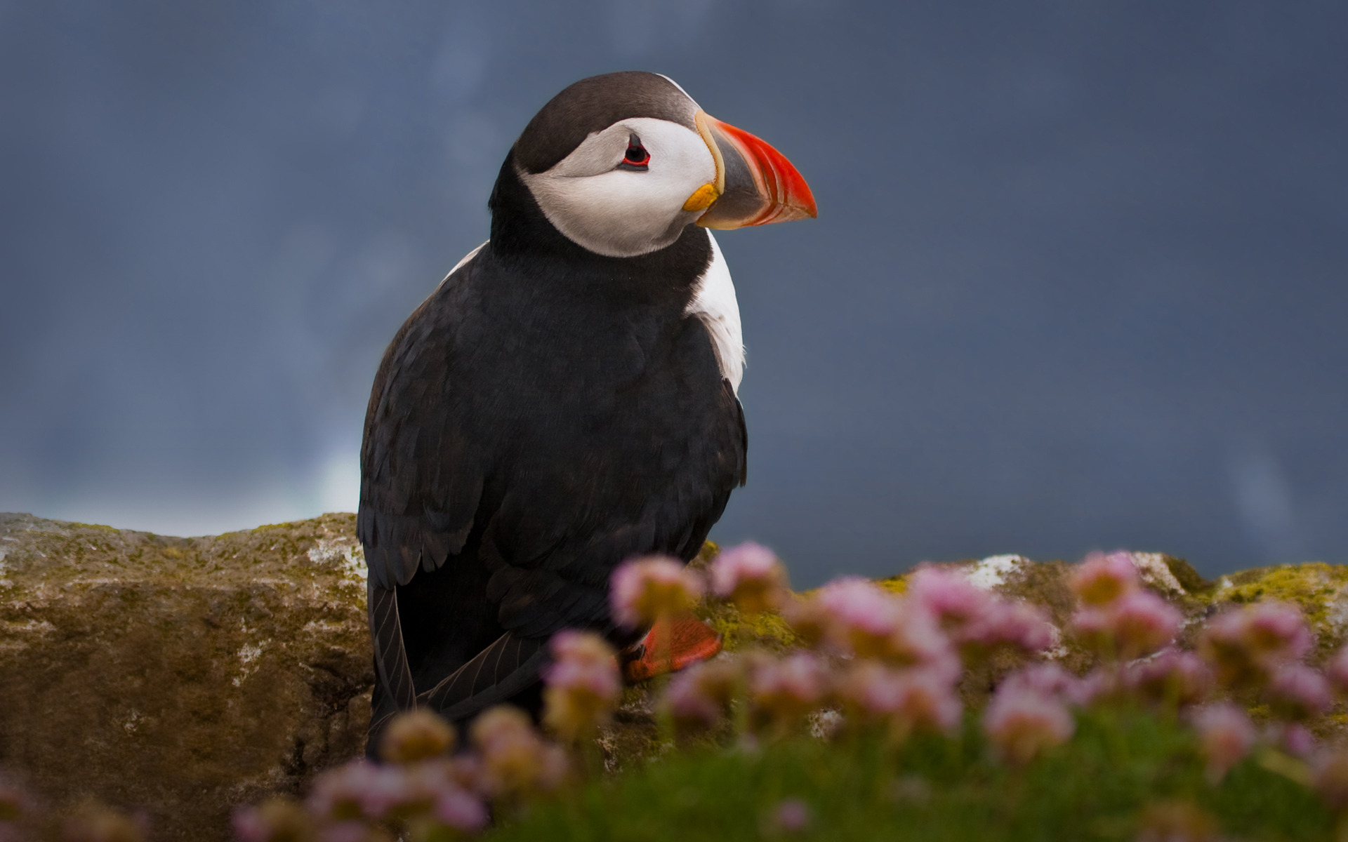 puffin wallpapers hd