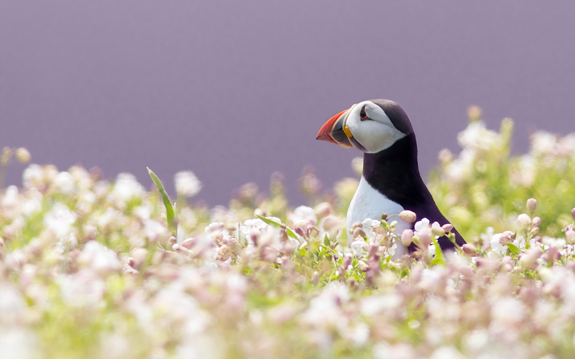 puffin wallpapers seabird