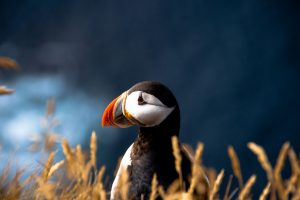 puffin wallpapers widescreen