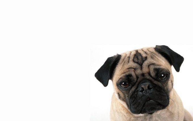 pug cute dog