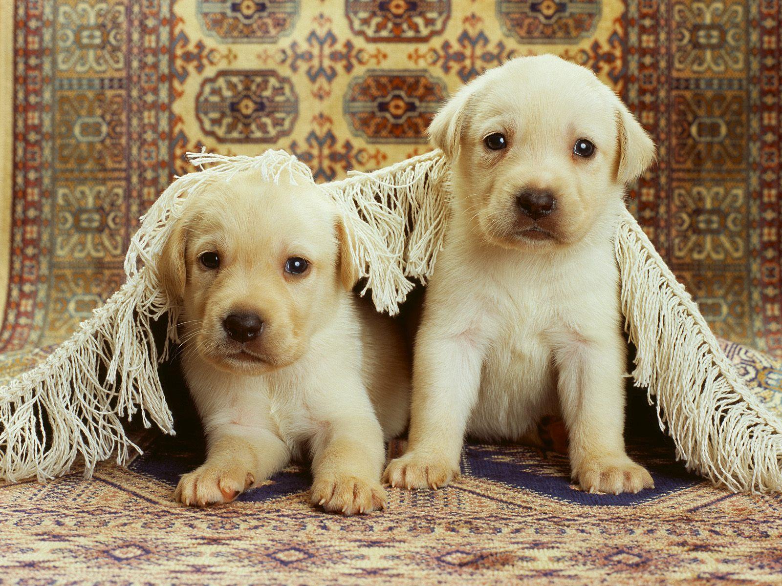 puppies wallpaper background