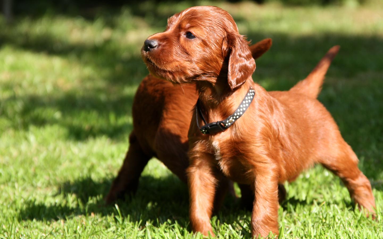 puppies wallpaper brown