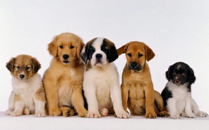 puppies wallpaper desktop