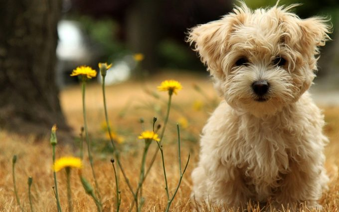 puppies wallpaper maltese