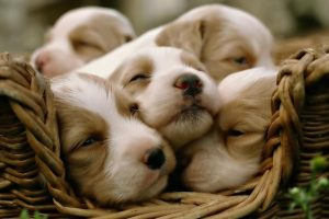 puppies wallpaper