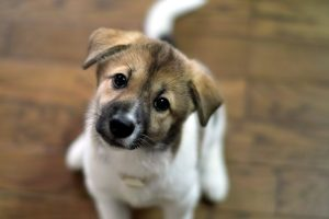 puppies wallpapers A11