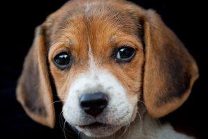 puppy beagle