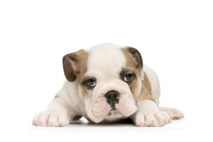 puppy bulldog