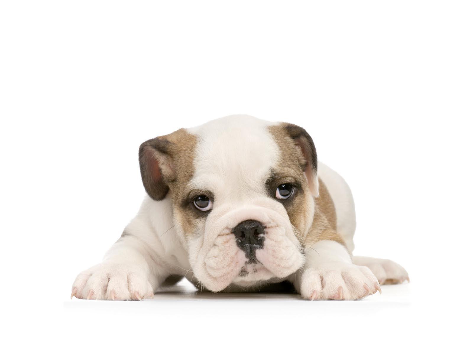 puppy bulldog